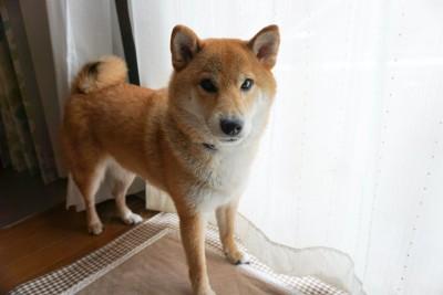 カーテンの横に立ってこちらを見つめる柴犬