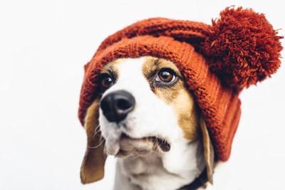 ニットの帽子を被っている犬