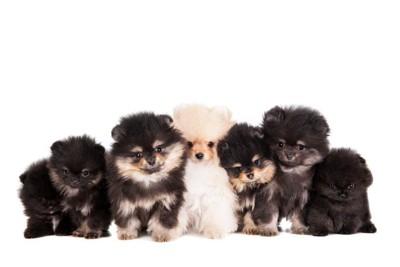 ポメラニアンの7匹の子犬の写真
