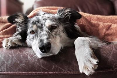 布団をかぶっている犬