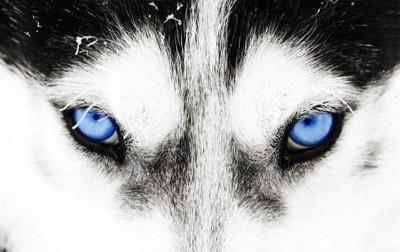 ハスキー犬の目