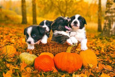 紅葉した落ち葉とカゴの中に入った4匹のコーギーの幼犬
