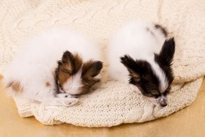 セーターの上で眠る2頭の子犬