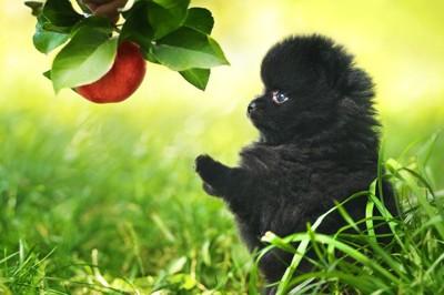 果実と黒ポメの子犬の写真