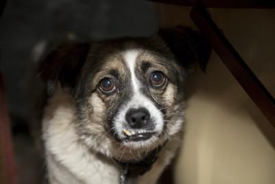 机の下に隠れて唸っている犬