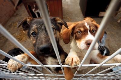 犬舎の中で立ち上がっている2匹の犬