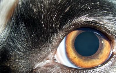 犬の目どアップ