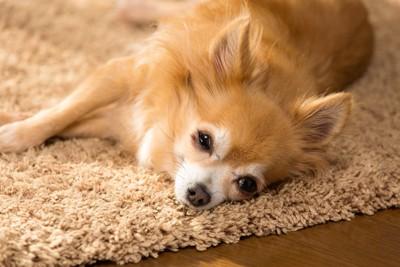 カーペットの上でグッタリしている犬