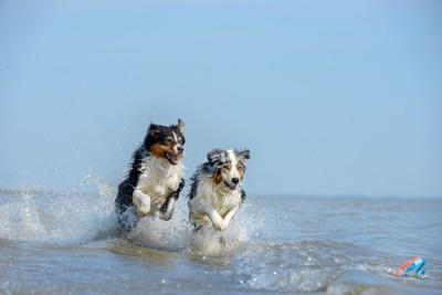 犬2頭が海遊び