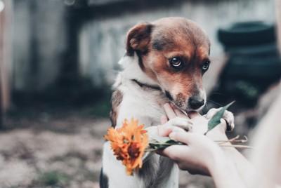 上目遣いで不安そうな表情の犬、オレンジの花