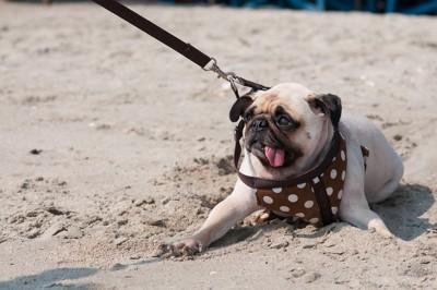 砂浜で拒否するパグ
