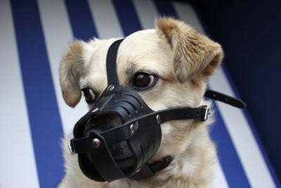 口輪をしている薄茶色の犬