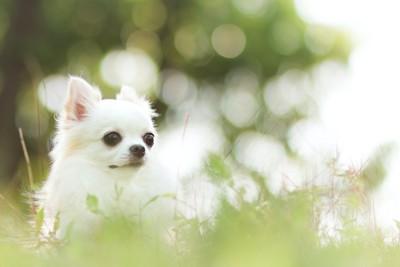 草むらで遠くを見つめる白いチワワ