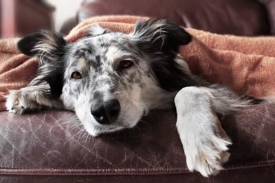 ベッドの上で伏せてこちらを見つめている犬