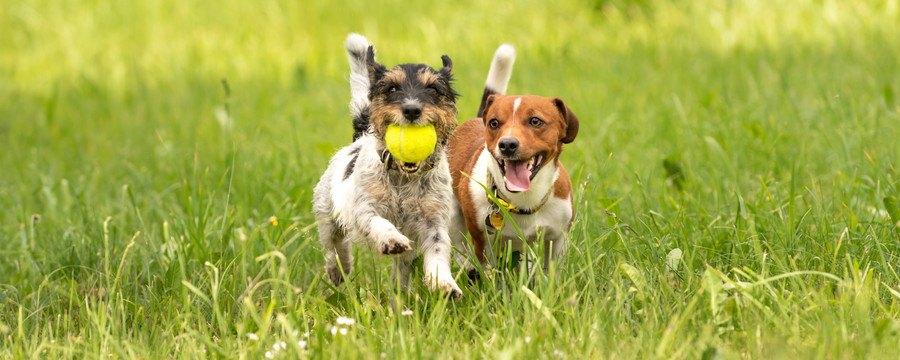 芝生を走る2頭の犬