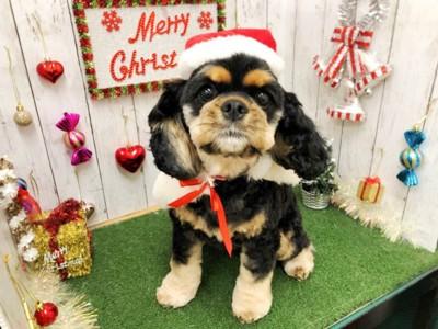 クリスマスコスの犬