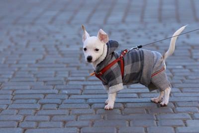 服を着ている小型犬