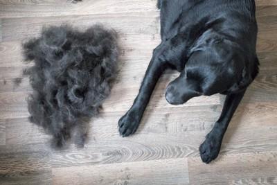 黒ラブと抜け毛