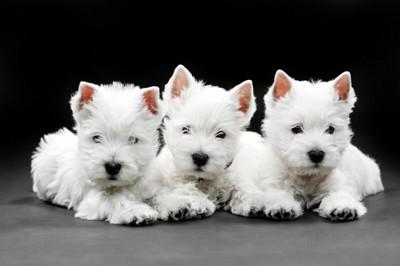 子犬のウエストハイランドホワイトテリア