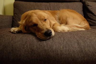 ソファーで眠るゴールデンレトリバー