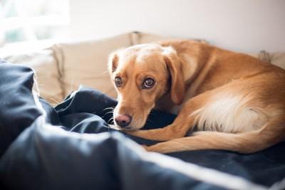 ペットベッドで丸くなる犬
