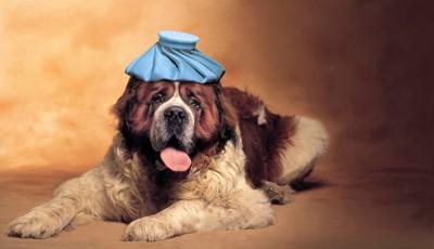 氷嚢を頭に置く犬