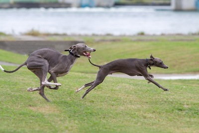 走るサイトハウンド分類の犬