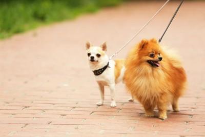お散歩中のチワワとポメラニアン