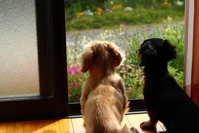 窓の外を見るダックス2匹