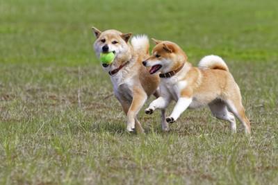 ボールを咥えて遊ぶ2匹の柴犬