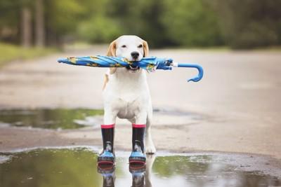 レインブーツを履き傘を持つ犬