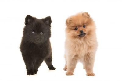 黒色と茶色のポメラニアン