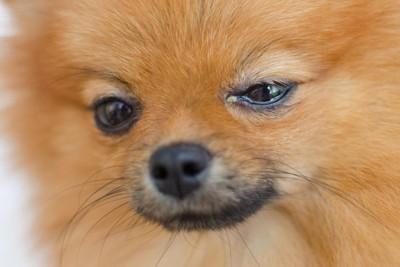 涙目になっている犬の顔アップ