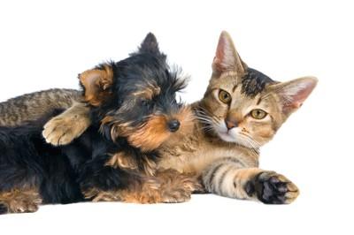 一緒にくつろぐヨークシャテリアと猫