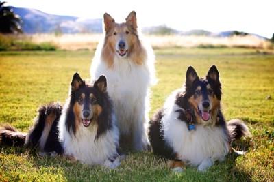 芝生でくつろぐ三匹のコリー犬