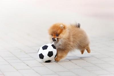 サッカーボールとポメラニアンの子犬