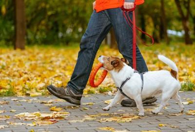 散歩中に飼い主を見上げている犬