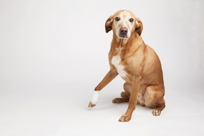 手首に包帯を巻いている垂れ耳の犬