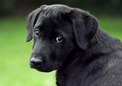 困り顔の子犬
