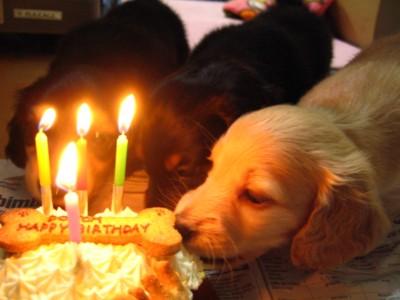 誕生日ケーキと子犬達
