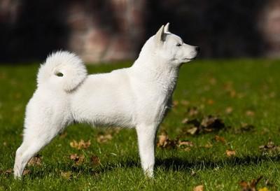 北海道犬の全体