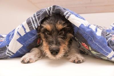 布団をかぶる犬