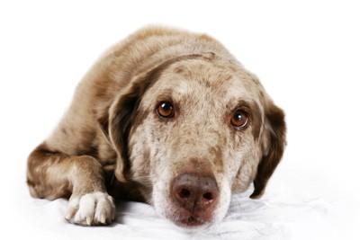 伏せている茶色い目の犬