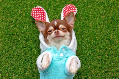 うさぎみたいな服を着て仰向けになった犬