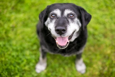 黒いシニア犬
