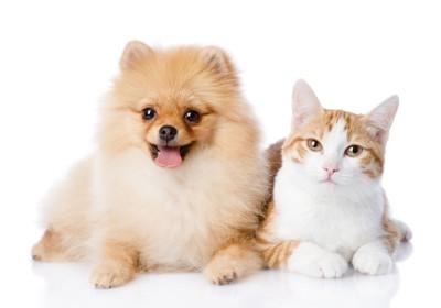 ポメラニアンと猫