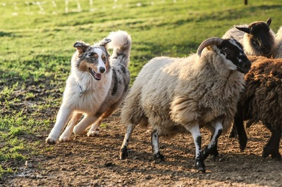 羊を追うオーシー