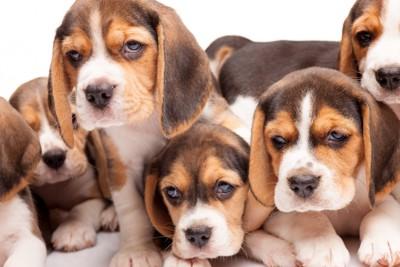 たくさんのビーグルの子犬たち