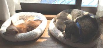 並んで寝ている犬達