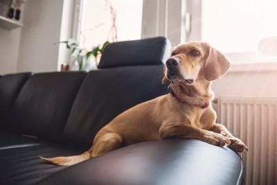 ソファーの上の茶色い犬